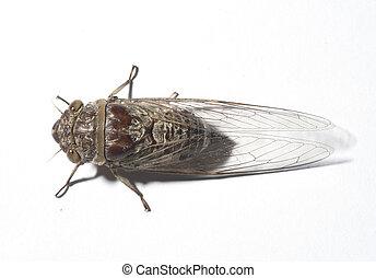 Cicadidae, isolated on white background
