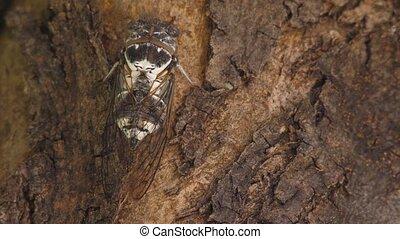 Cicadoidea insect. Eukaryota Animalia Arthropoda Tracheata Hexapoda Insecta Insecta biology. Traveling concept Australian insects. Biodiversity concept. Biology. Cicadidae songs