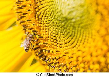 cicatrizarse, abeja, en, girasol