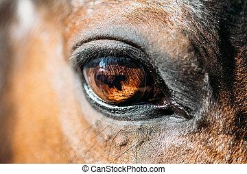 cicatrizarse, de, árabe, caballo de la bahía