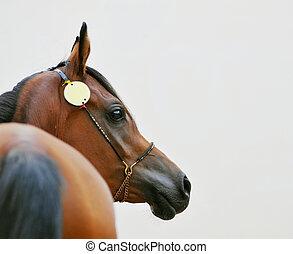 cicatrizarse, de, bahía, caballo árabe, en, gris, plano de fondo