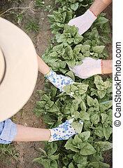 cicatrizarse, de, manos, cosechar, plantas