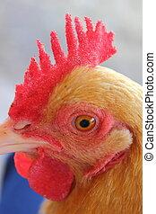 cicatrizarse, de, pollo