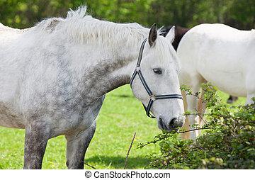 cicatrizarse, de, un, árabe, gris, caballo