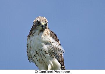 cicatrizarse, de, un, halcón seguido por red