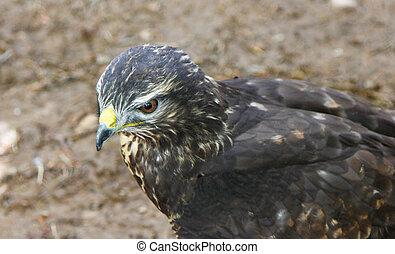 cicatrizarse, de, un, hermoso, águila