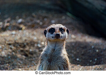 cicatrizarse, de, un, meerkat's, cara