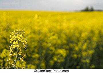 cicatrizarse, en, un, flores, de, violación, planta, en, interminable, rapeseed, field., amarillo, rapeseeds, campos, y azul, cielo, con, nubes, en, soleado, weather., agriculture.
