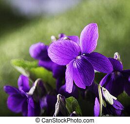 cicatrizarse, violetas