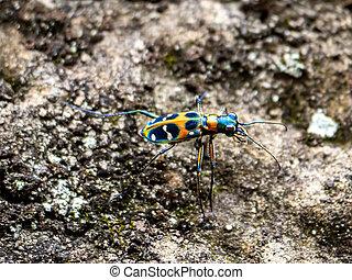 Cicindela chinensis japonica tiger beetle on stone hillside ...