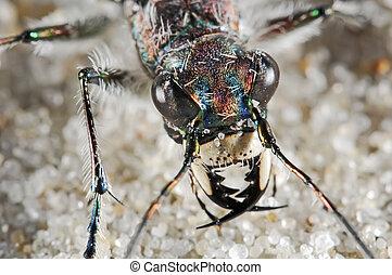 Cicindelid beetle portrait with big eyes and mandibles