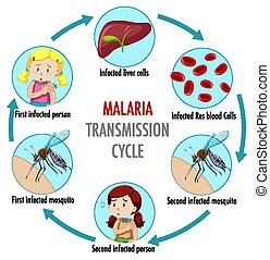 ciclo, malaria, transmisión, información, infographic