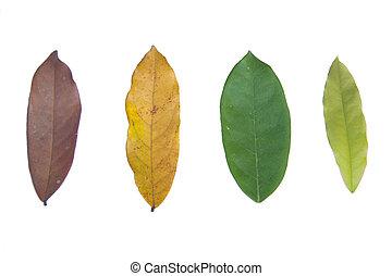 ciclo vida, de, folhas