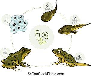 ciclo vital, de, un, rana