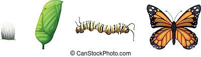 ciclo vitale, di, uno, farfalla monarca
