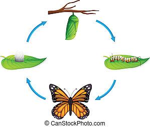 ciclo vitale, -, plexippus danaus
