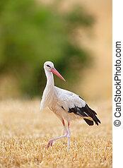 ciconia), (ciconia, weißes, storch