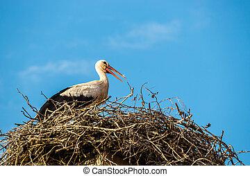 ciconia, störche, nest, weißes