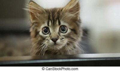ciekawy, kot