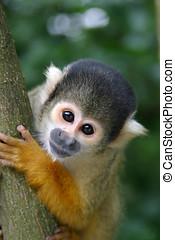ciekawy, małpa