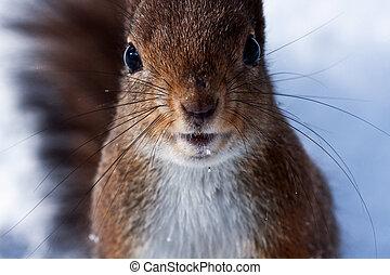 ciekawy, wiewiórka