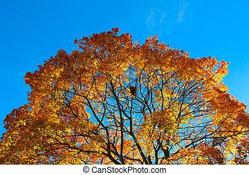 ciel bleu, arbre, contre, automne, coloré
