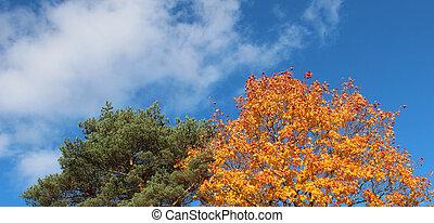 ciel bleu, arbre, contre, automne, pin, érable