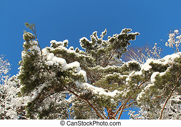 ciel bleu, arbre, contre, neigeux