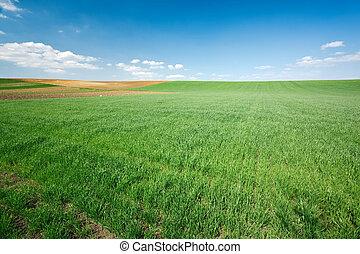 ciel bleu, blé, champ vert