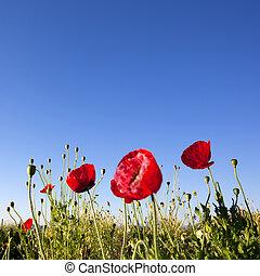 ciel bleu, fond, pavot, fleurs, rouges