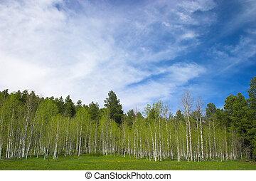 ciel bleu, tremble, arbres
