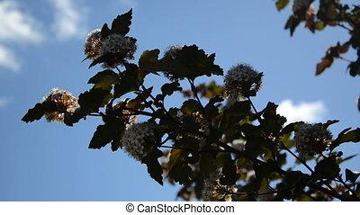 ciel bleu, viburnum, fleurs
