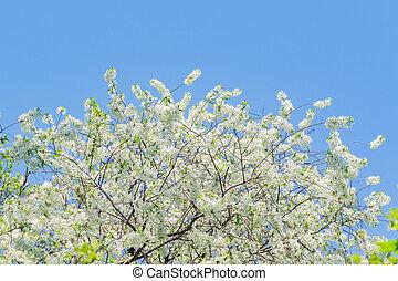 ciel, cerisier, contre, haut, fleur, fin, bleu