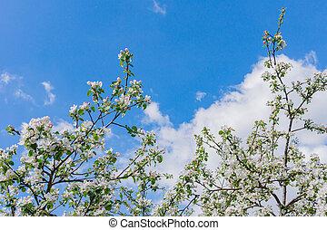 ciel, fleurir, contre, pomme, espace, bleu, copie, arbre