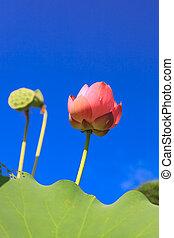 ciel, parfait, contre, lotus