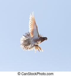 ciel, vol, colombe