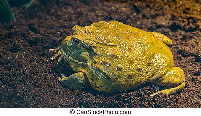 cielna, afrykanin, afryka, tropikalny, closeup, bullfrog, prospekt, amfibia, bok