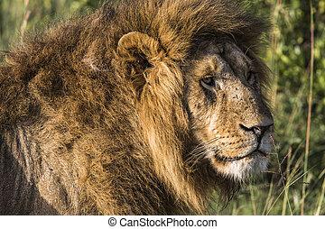 cielna, lew, leżący, na, savannah, grass.
