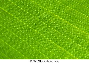 cielna, roślina, liść, zielony, makro