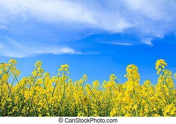 cielo azul, amarillo, oilseed, campo, violación
