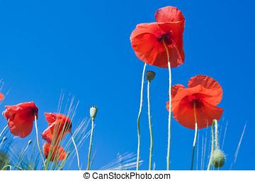 cielo azul, contra, amapola, flores, rojo