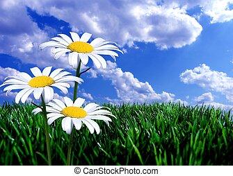cielo azul, hierba verde, y, margaritas