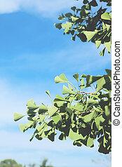 cielo blu, foglie, effetto, su, filtro, ginkgo, chiudere, film