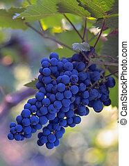 ciemny, jarzący się, winogrona, wino