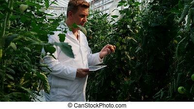 científico, examinar, digital, plantas, invernadero, tableta...