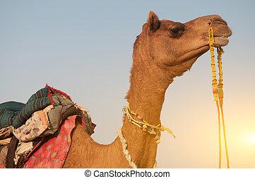 cierre, Arriba, camello