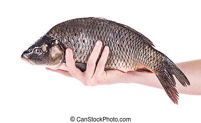 cierre, carpa, arriba, pez, mano
