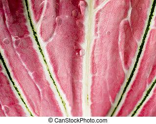 cierre, leaf., bicolor, textura, arriba, caladium
