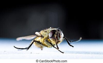 cierre, mosca doméstica, arriba, común