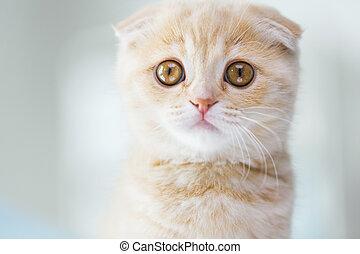 cierre, pliegue, gatito, arriba, escocés